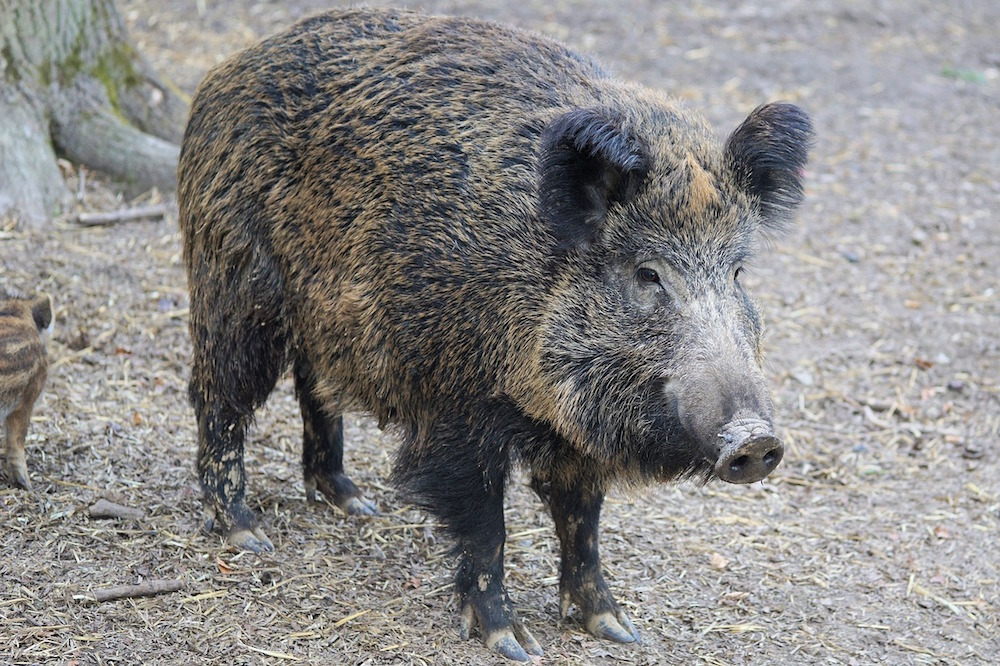 Wildschwein Pixabay